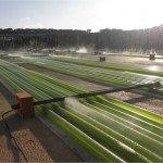 Energia alternativa: Il biocarburante ricavato dalle alghe
