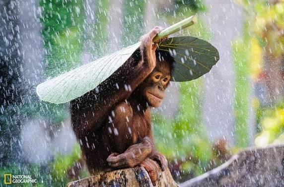 "Andrew Suryono, ""Orangutan in The Rain"", Bali, Indonesia"