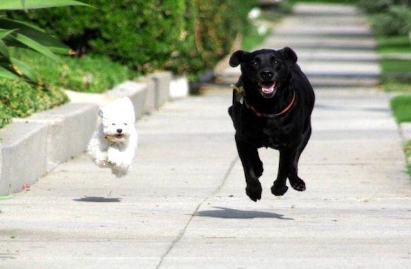 cane bianco-cane nero