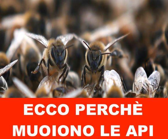 Ecco perchè muoiono le api