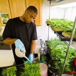 Marijuana legale un business da 2,34 miliardi di dollari