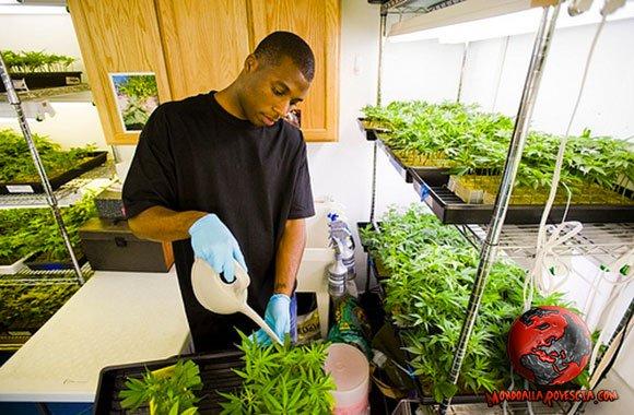 coltivare-cannabis-legalizzazione-Marijuana