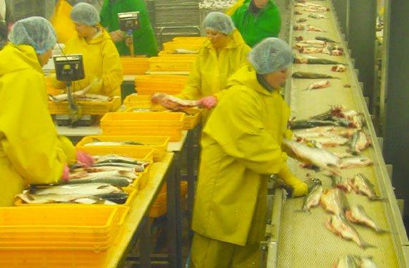 salmone-di-allevamento-intesivo