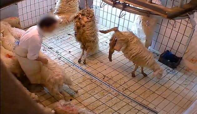 allevamento intensivo agnelli